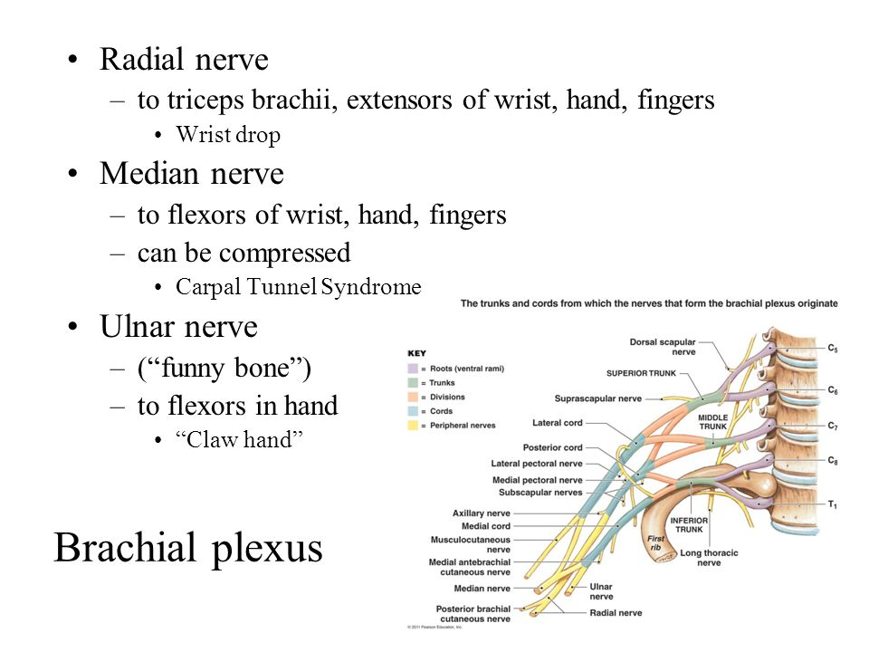 Brachial plexus Radial nerve –to triceps brachii, extensors of wrist, hand, fingers Wrist drop Median nerve –to flexors of wrist, hand, fingers –can be compressed Carpal Tunnel Syndrome Ulnar nerve –( funny bone ) –to flexors in hand Claw hand