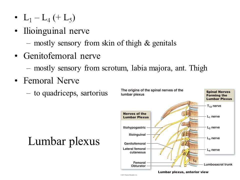Lumbar plexus L 1 – L 4 (+ L 5 ) Ilioinguinal nerve –mostly sensory from skin of thigh & genitals Genitofemoral nerve –mostly sensory from scrotum, labia majora, ant.