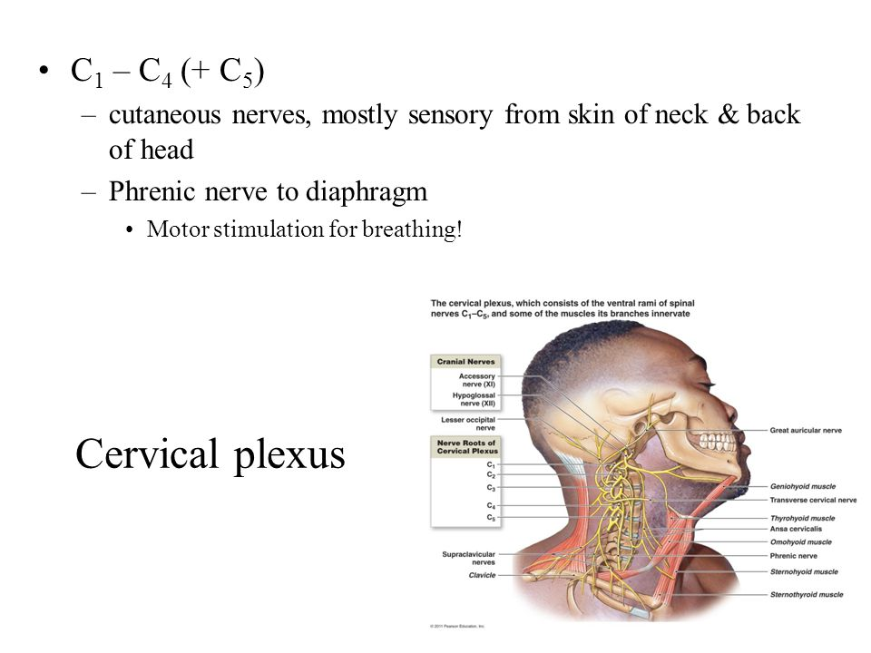Cervical plexus C 1 – C 4 (+ C 5 ) –cutaneous nerves, mostly sensory from skin of neck & back of head –Phrenic nerve to diaphragm Motor stimulation for breathing!