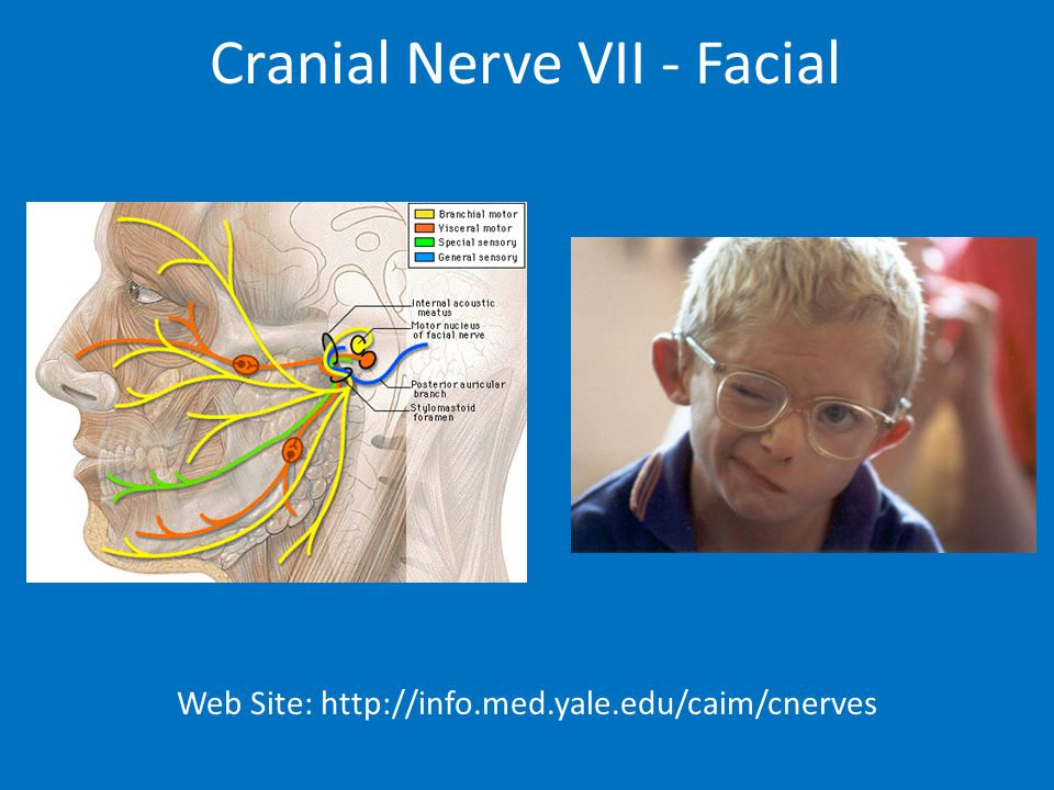 Cranial Nerve VII - Facial Web Site: http://info.med.yale.edu/caim/cnerves