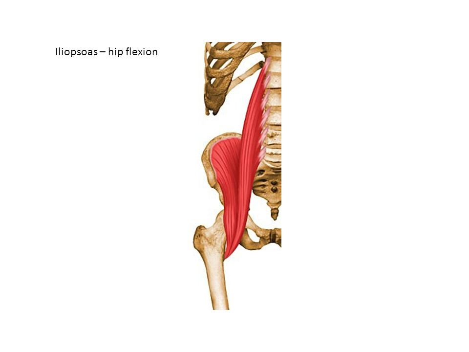 Supraspinatus: synergist of deltoid Infraspinatus : laterally rotates humerus Levator scapulae – elevages scapula and tilts glenoid cavity inferiorly Rhomboids – retracts scapula and rotates it to depress glenoid cavity