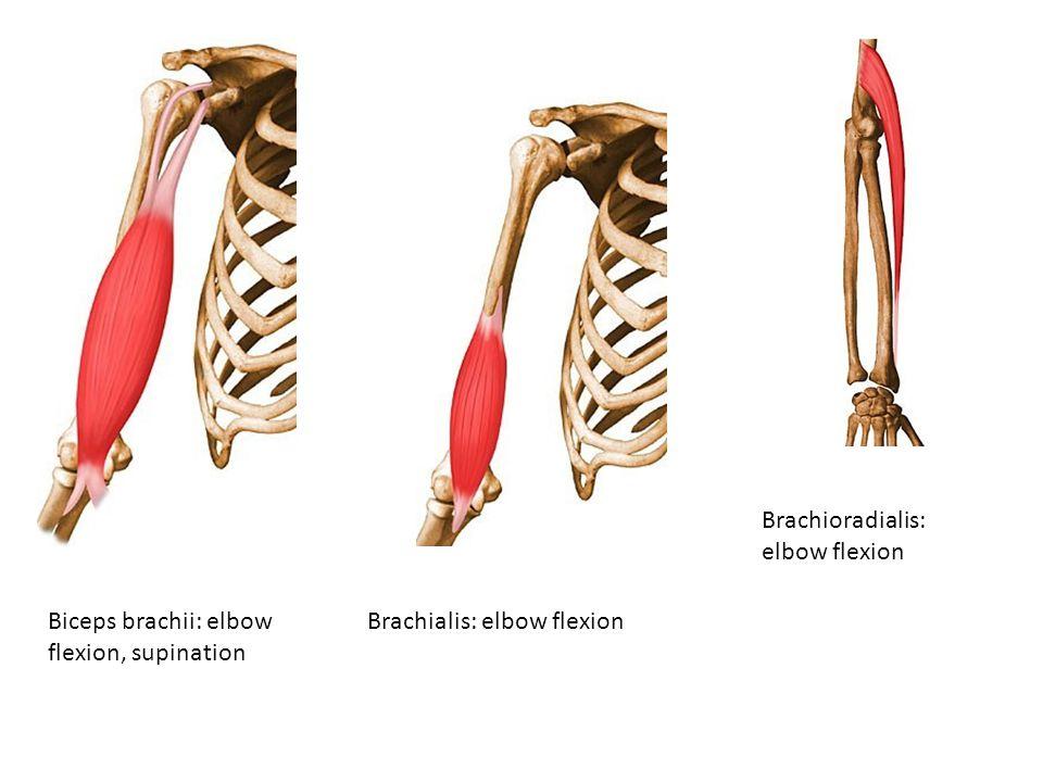 Biceps brachii: elbow flexion, supination Brachialis: elbow flexion Brachioradialis: elbow flexion