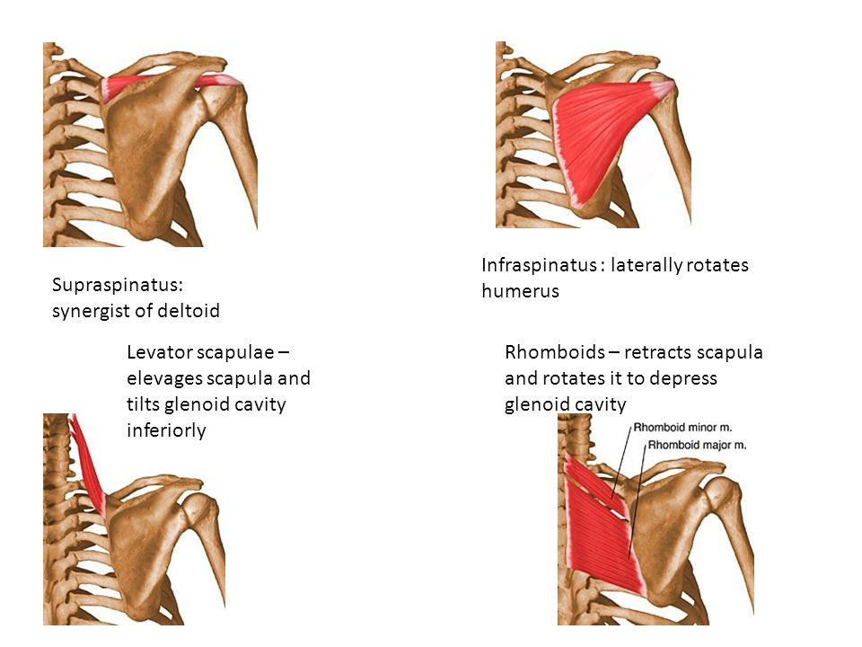 Supraspinatus: synergist of deltoid Infraspinatus : laterally rotates humerus Levator scapulae – elevages scapula and tilts glenoid cavity inferiorly