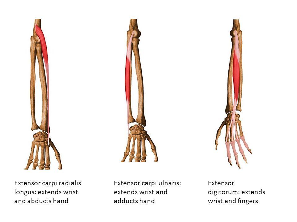 Extensor carpi radialis longus: extends wrist and abducts hand Extensor carpi ulnaris: extends wrist and adducts hand Extensor digitorum: extends wris