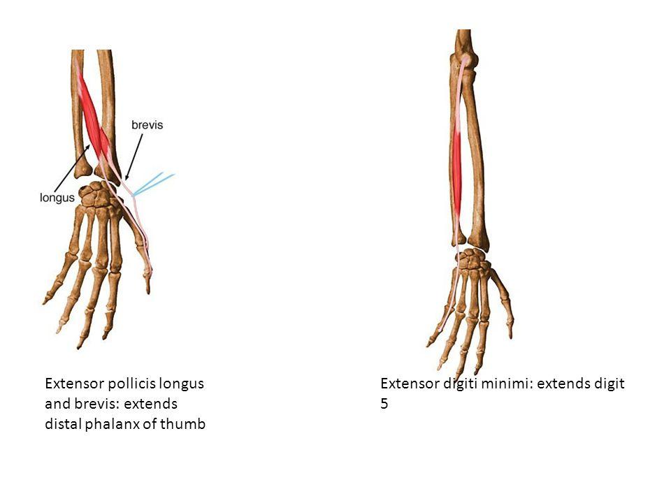 Extensor pollicis longus and brevis: extends distal phalanx of thumb Extensor digiti minimi: extends digit 5