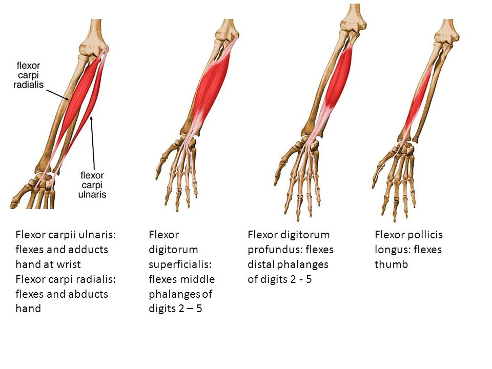 Flexor carpii ulnaris: flexes and adducts hand at wrist Flexor carpi radialis: flexes and abducts hand Flexor digitorum superficialis: flexes middle p