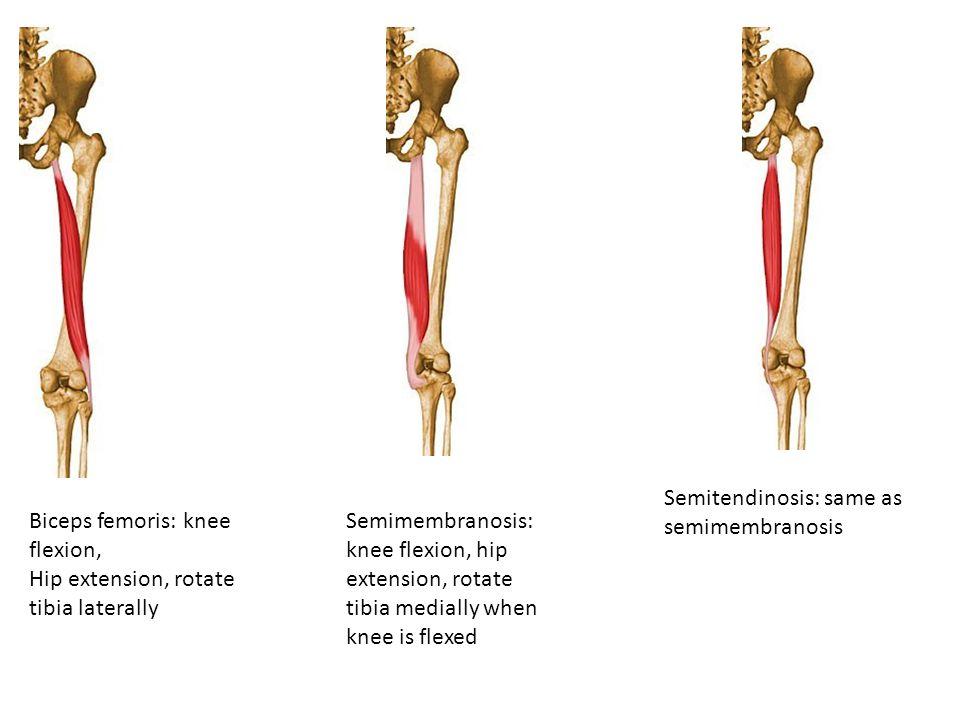 Biceps femoris: knee flexion, Hip extension, rotate tibia laterally Semimembranosis: knee flexion, hip extension, rotate tibia medially when knee is f