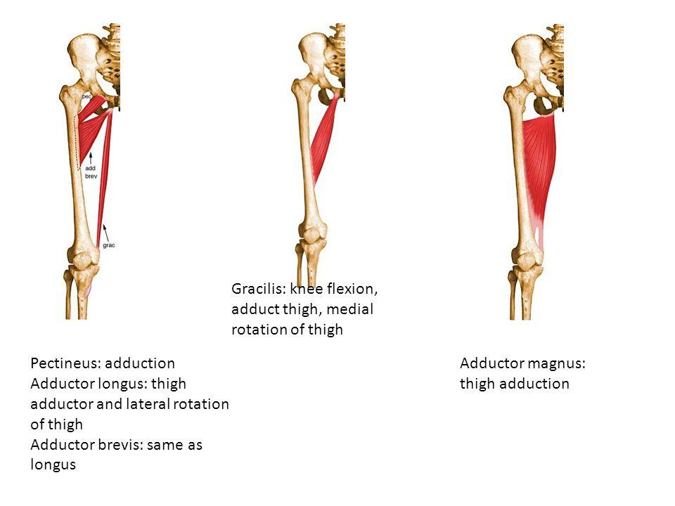 Pectineus: adduction Adductor longus: thigh adductor and lateral rotation of thigh Adductor brevis: same as longus Gracilis: knee flexion, adduct thig