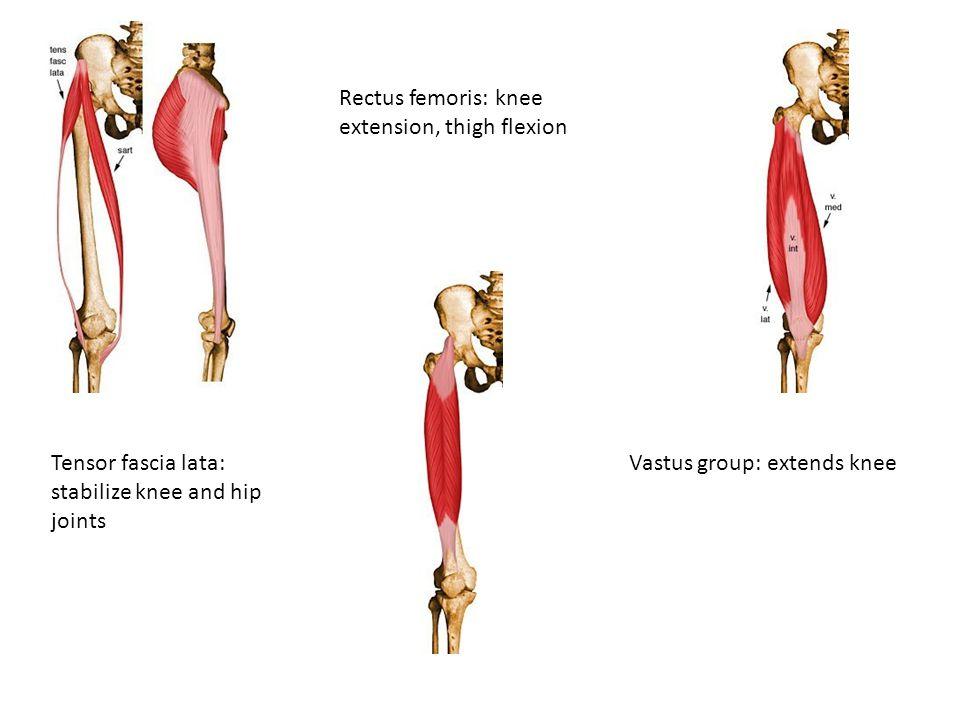Tensor fascia lata: stabilize knee and hip joints Rectus femoris: knee extension, thigh flexion Vastus group: extends knee