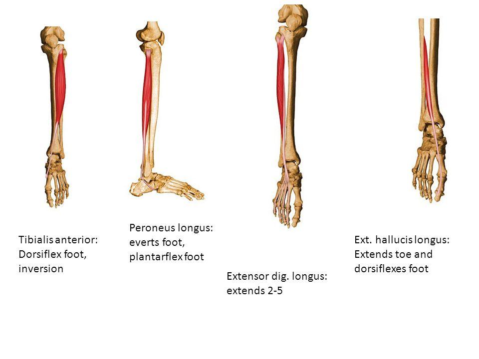 Tibialis anterior: Dorsiflex foot, inversion Peroneus longus: everts foot, plantarflex foot Extensor dig. longus: extends 2-5 Ext. hallucis longus: Ex
