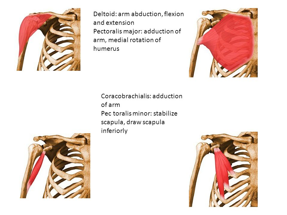 Deltoid: arm abduction, flexion and extension Pectoralis major: adduction of arm, medial rotation of humerus Coracobrachialis: adduction of arm Pec to