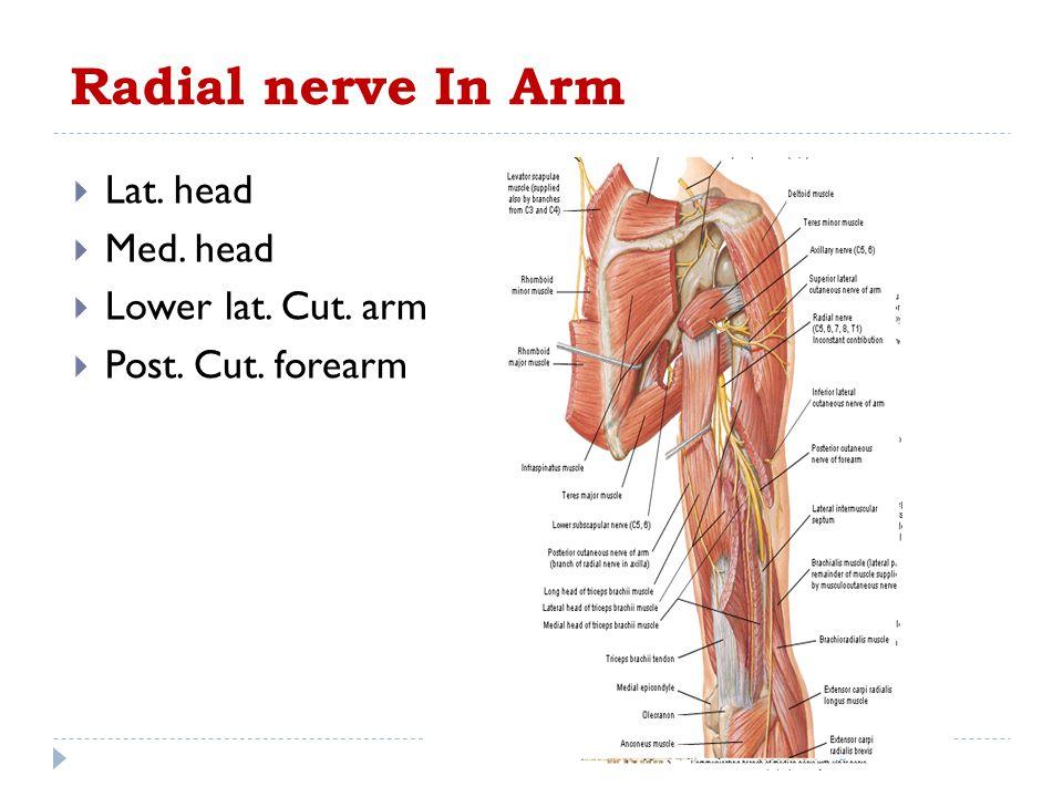 Radial nerve In Arm  Lat. head  Med. head  Lower lat. Cut. arm  Post. Cut. forearm