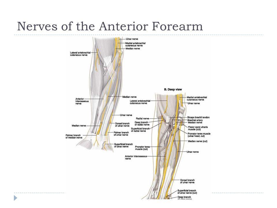 Nerves of the Anterior Forearm