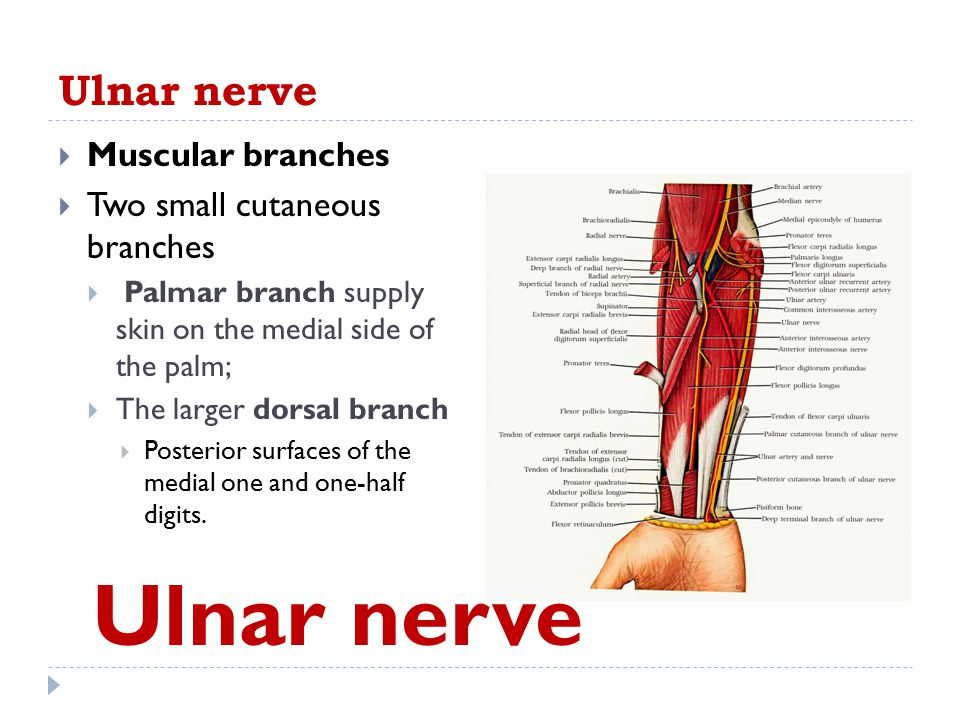 Ulnar nerve  Muscular branches  Two small cutaneous branches  Palmar branch supply skin on the medial side of the palm;  The larger dorsal branch