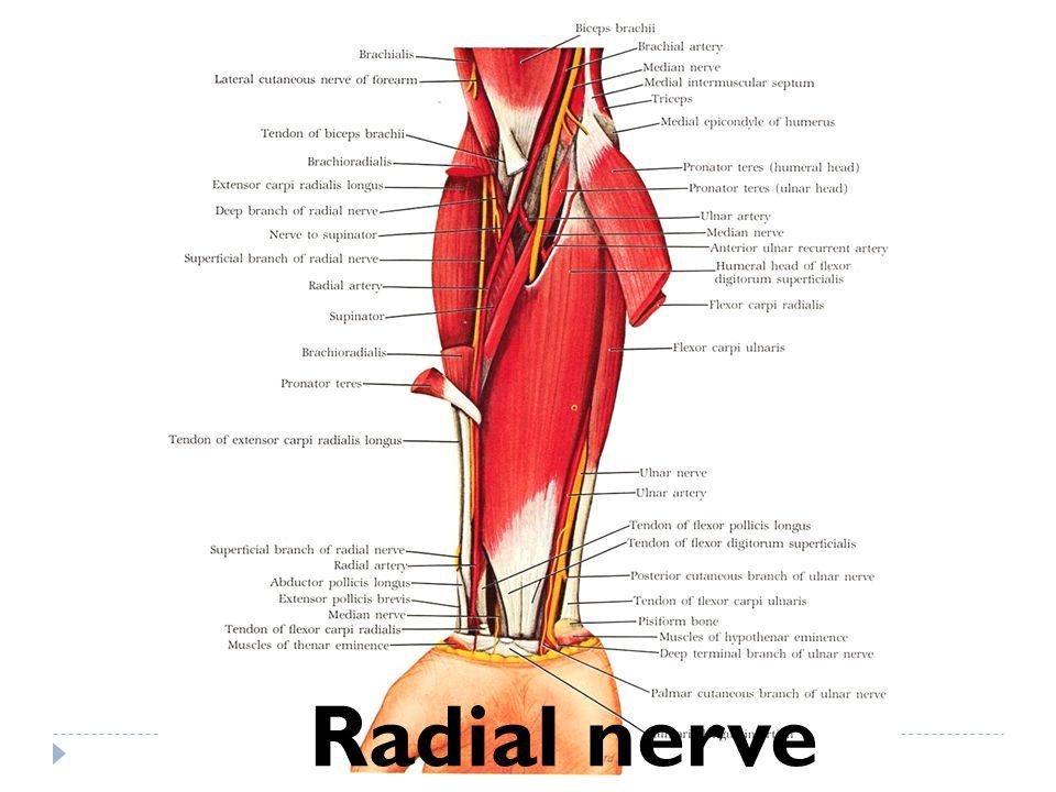 Radial nerve
