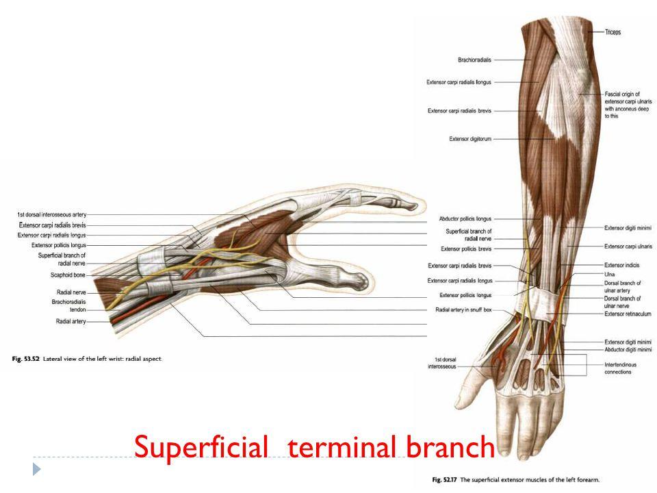 Superficial terminal branch