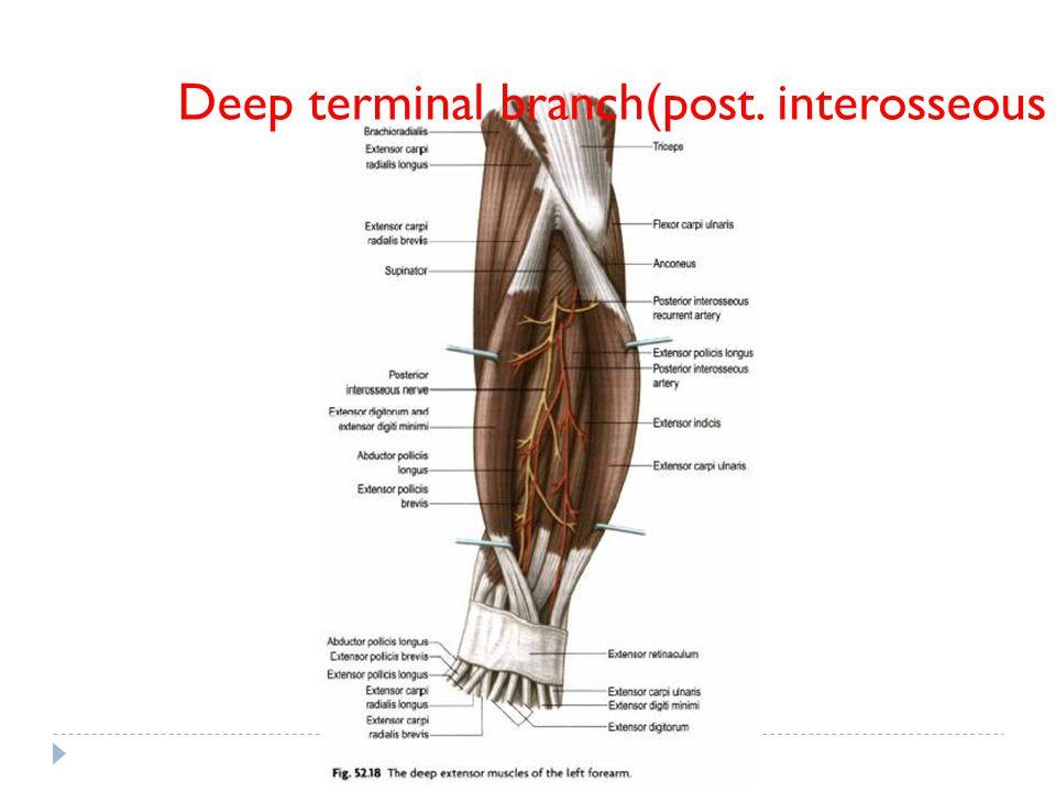 Deep terminal branch(post. interosseous