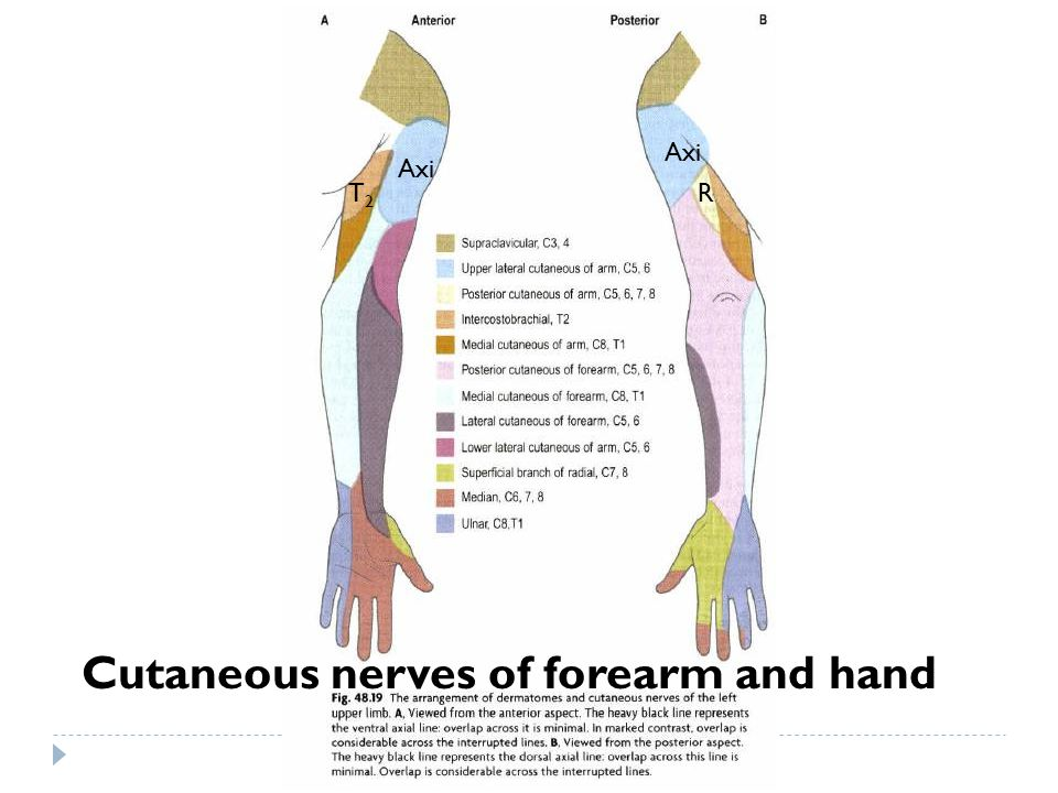 Axi RT2T2 Cutaneous nerves of forearm and hand