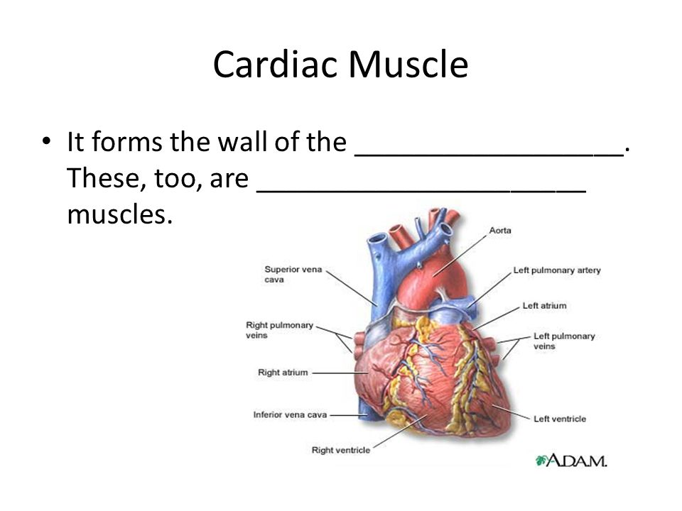 Cardiac Muscle It forms the wall of the __________________.