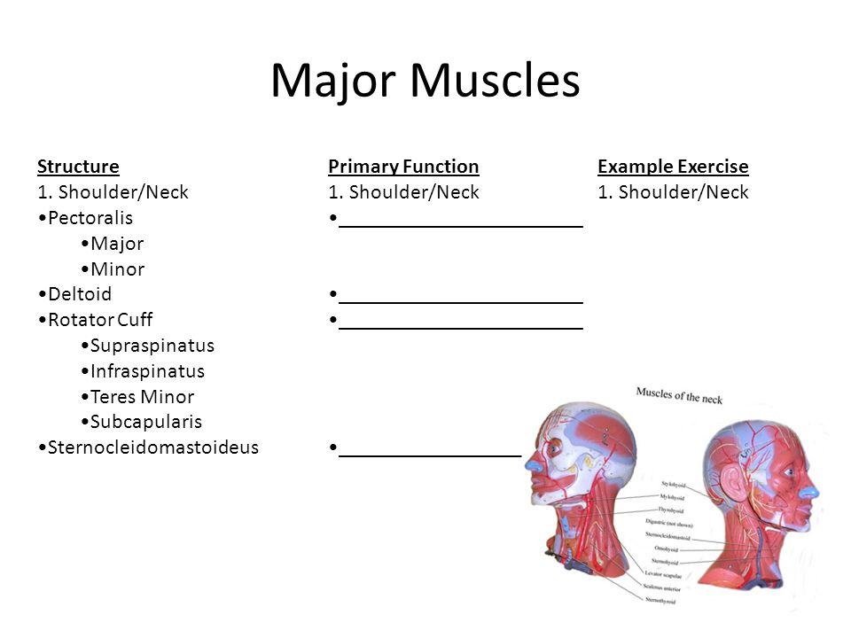 Major Muscles Structure 1. Shoulder/Neck Pectoralis Major Minor Deltoid Rotator Cuff Supraspinatus Infraspinatus Teres Minor Subcapularis Sternocleido