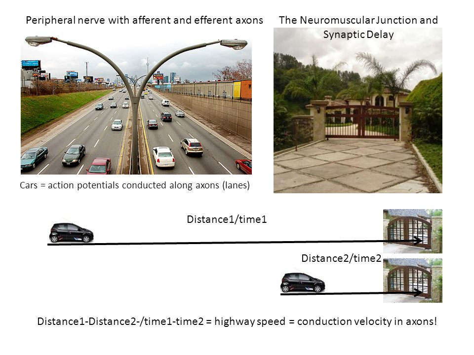 Peripheral nerve with afferent and efferent axonsThe Neuromuscular Junction and Synaptic Delay Cars = action potentials conducted along axons (lanes) Distance1/time1 Distance2/time2 Distance1-Distance2-/time1-time2 = highway speed = conduction velocity in axons!