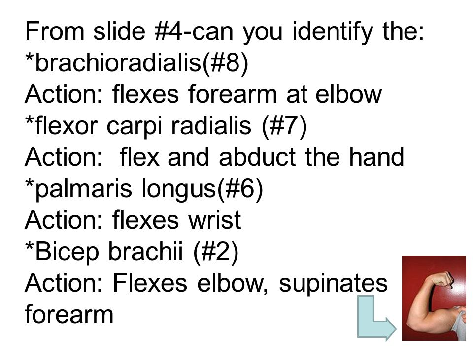 Slide #5: Lower forelimb (Lateral Aspect)