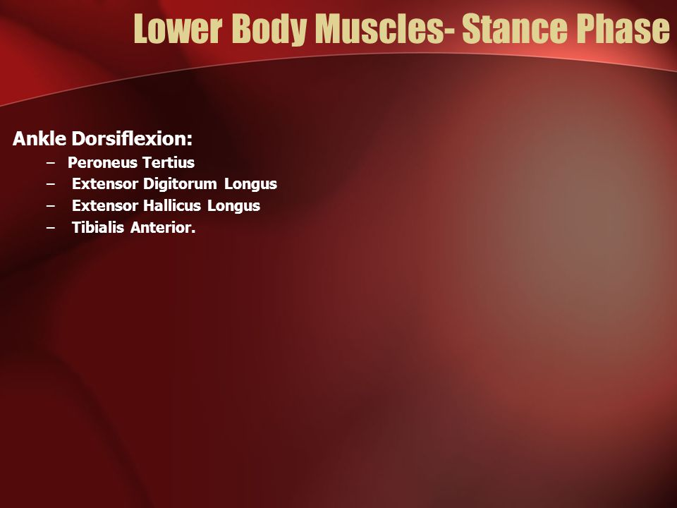 Lower Body Muscles- Stance Phase Ankle Dorsiflexion: –Peroneus Tertius – Extensor Digitorum Longus – Extensor Hallicus Longus – Tibialis Anterior.