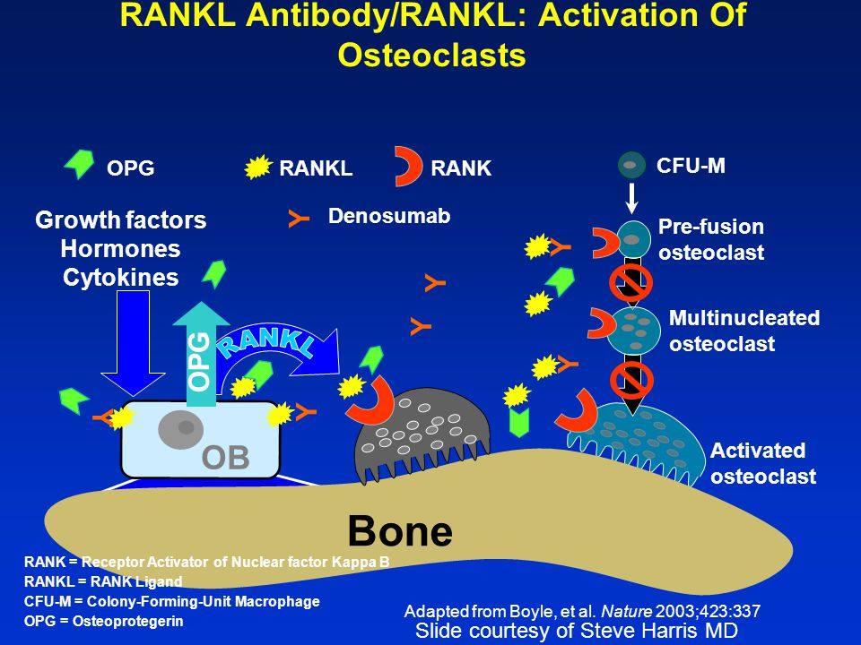 RANKL Antibody/RANKL: Activation Of Osteoclasts Activated osteoclast CFU-M Pre-fusion osteoclast Multinucleated osteoclast Bone OB Growth factors Hormones Cytokines RANKOPGRANKL RANK = Receptor Activator of Nuclear factor Kappa B RANKL = RANK Ligand CFU-M = Colony-Forming-Unit Macrophage OPG = Osteoprotegerin Adapted from Boyle, et al.