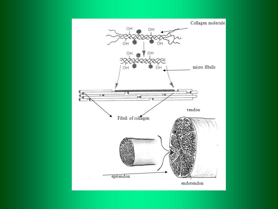 Collagen molecule micro fibrils Fibril of collagen tendon epitendon endotendon