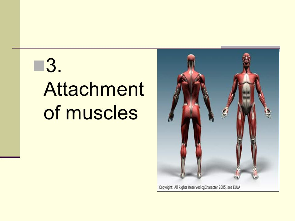 3. Attachment of muscles