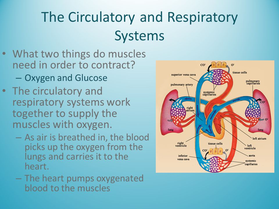 The Circulatory and Respiratory Systems What two things do muscles need in order to contract? – Oxygen and Glucose The circulatory and respiratory sys