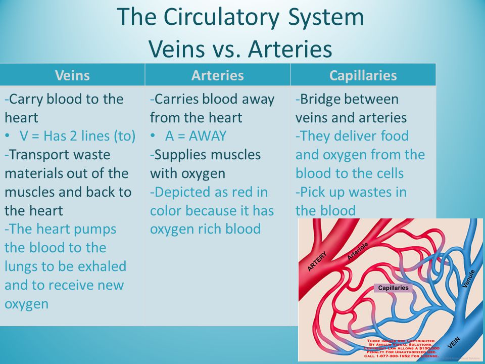 The Circulatory System Veins vs. Arteries VeinsArteriesCapillaries -Carry blood to the heart V = Has 2 lines (to) -Transport waste materials out of th