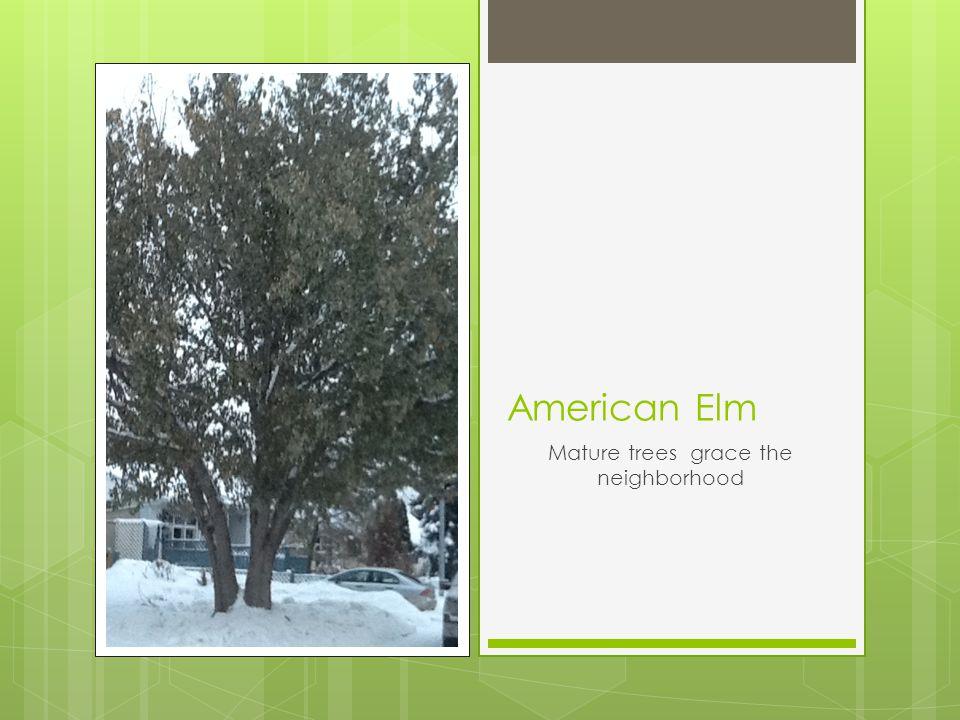 American Elm Mature trees grace the neighborhood