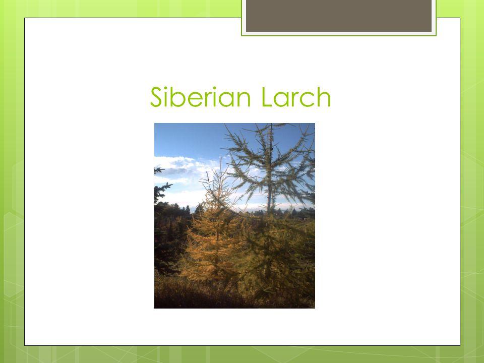 Siberian Larch