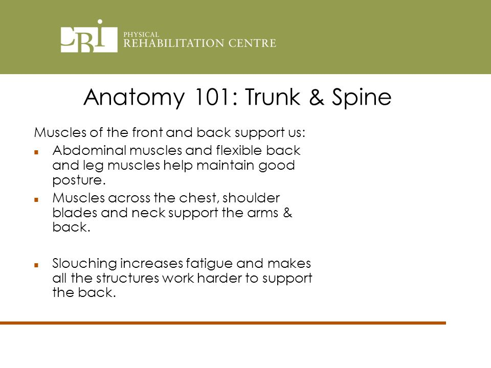 Anatomy 101: Trunk & Spine Muscles of the front and back support us: Abdominal muscles and flexible back and leg muscles help maintain good posture.