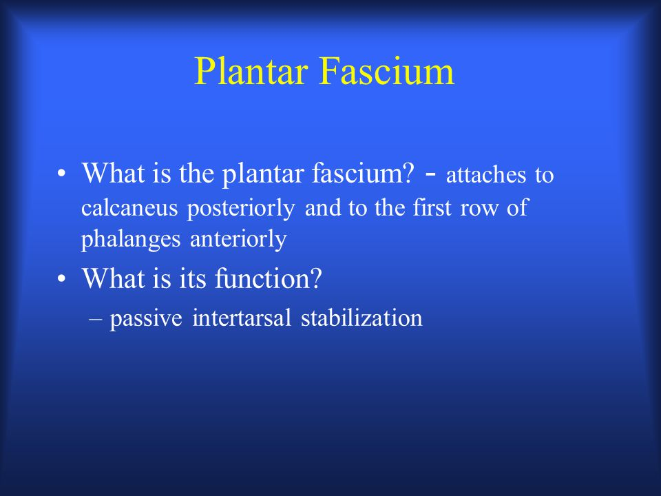 Plantar Fascium What is the plantar fascium? - attaches to calcaneus posteriorly and to the first row of phalanges anteriorly What is its function? –p
