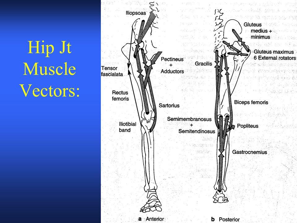 Hip Jt Muscle Vectors: