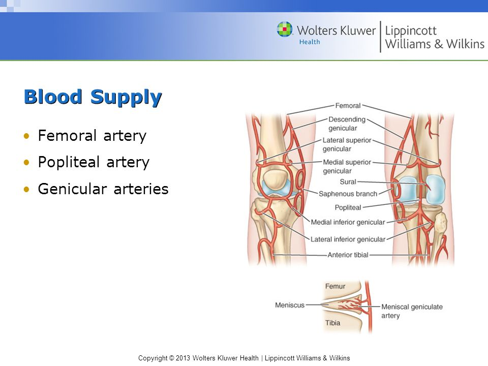 Copyright © 2013 Wolters Kluwer Health | Lippincott Williams & Wilkins Blood Supply Femoral artery Popliteal artery Genicular arteries