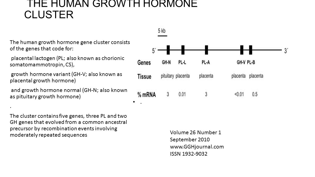 THE HUMAN GROWTH HORMONE CLUSTER The human growth hormone gene cluster consists of the genes that code for: placental lactogen (PL; also known as chor
