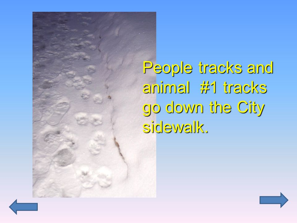 People tracks and animal #1 tracks go down the City sidewalk.
