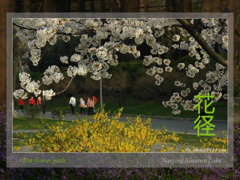 The flower pathNanjing Xuanwu Lake