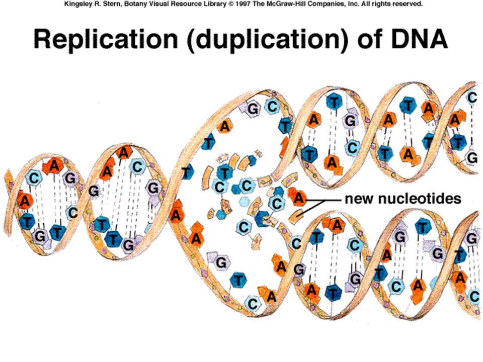 When a DNA molecule makes an exact copy of itself this is called replication.