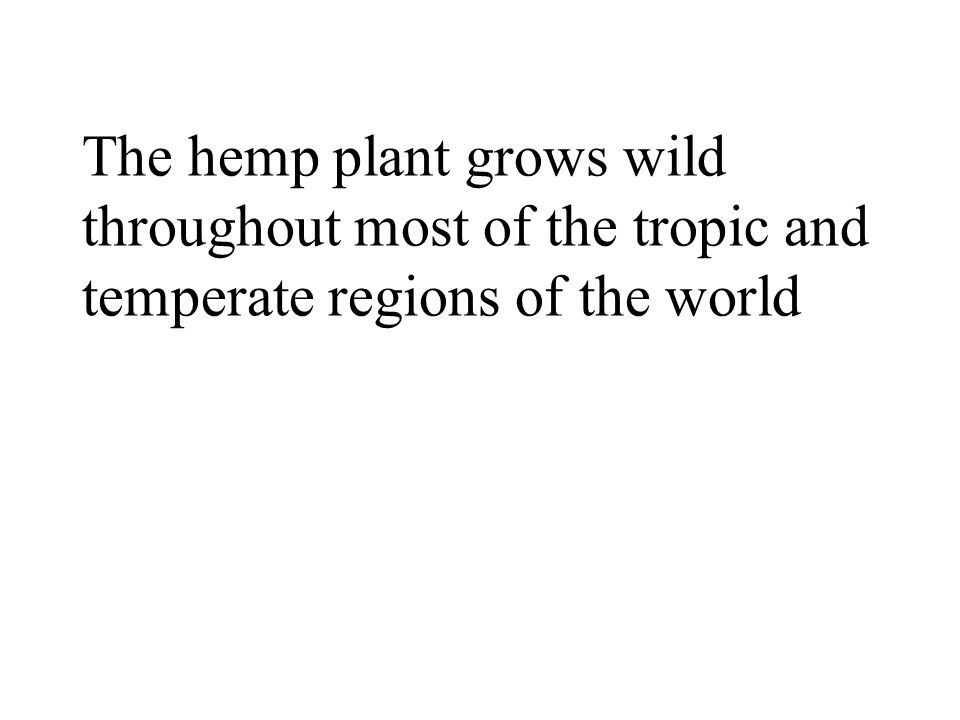 The hemp plant grows wild throughout most of the tropic and temperate regions of the world