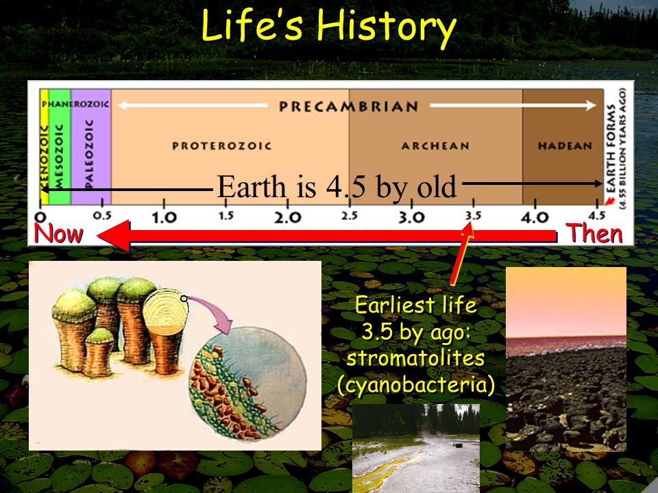 Life's History Earth is 4.5 by old Now Then Earliest life 3.5 by ago: stromatolites (cyanobacteria)