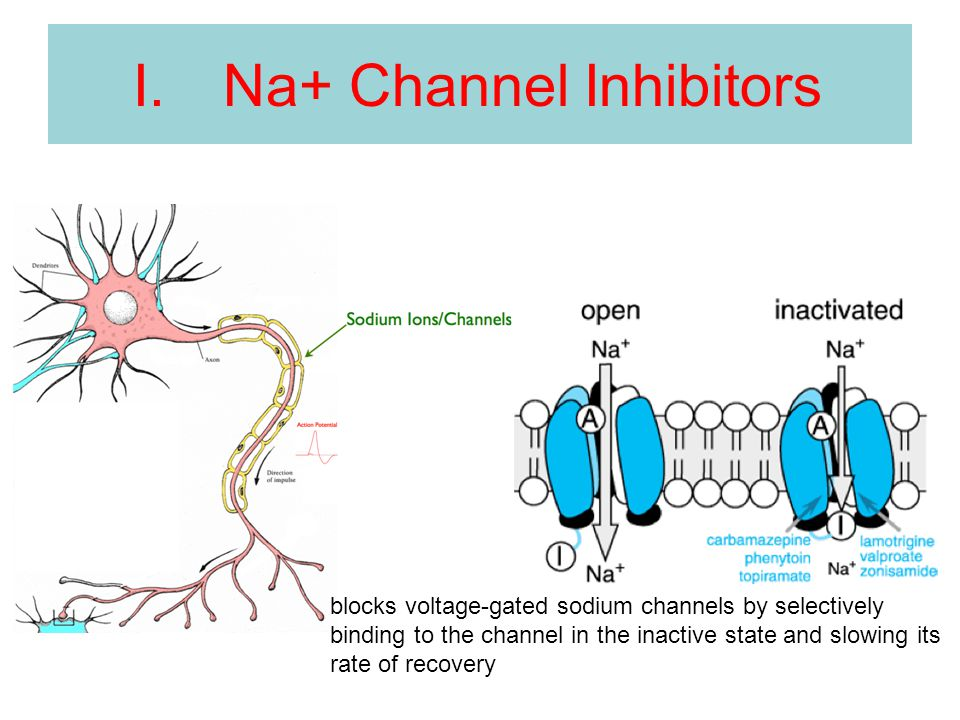 I.Na+ Channel Inhibitors blocks voltage-gated sodium channels by selectively binding to the channel in the inactive state and slowing its rate of reco