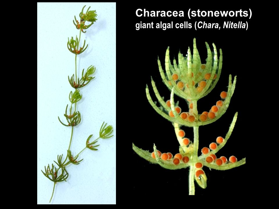 Characea (stoneworts) giant algal cells ( Chara, Nitella )