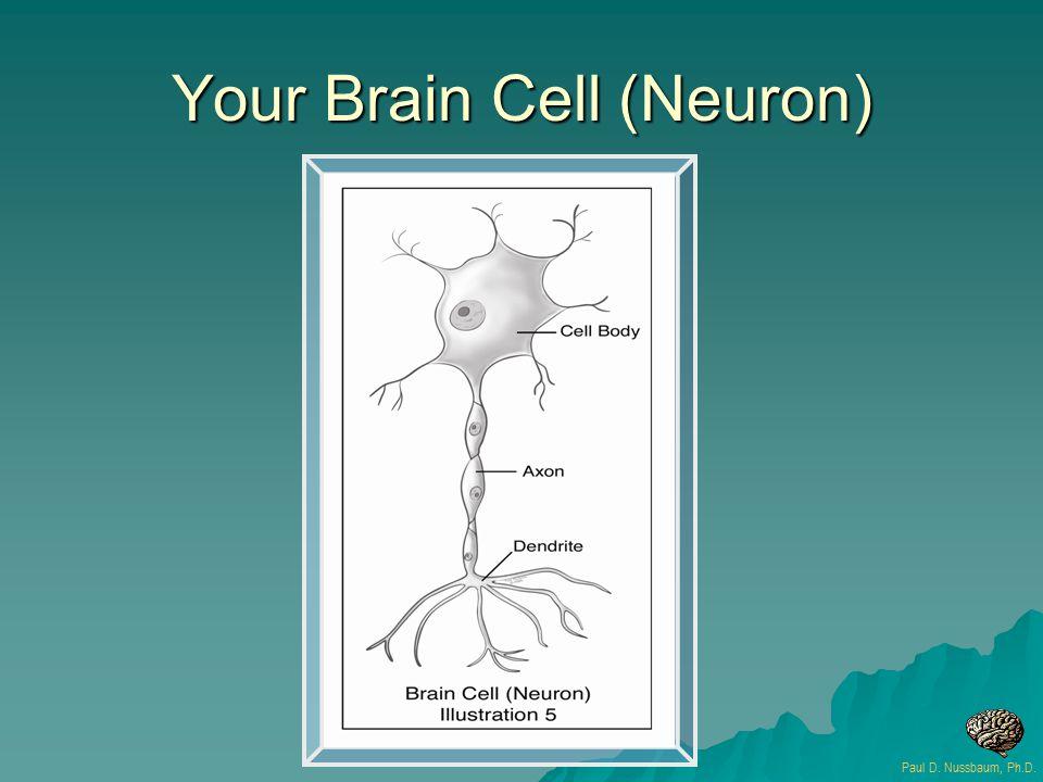 Your Brain Cell (Neuron) Paul D. Nussbaum, Ph.D.