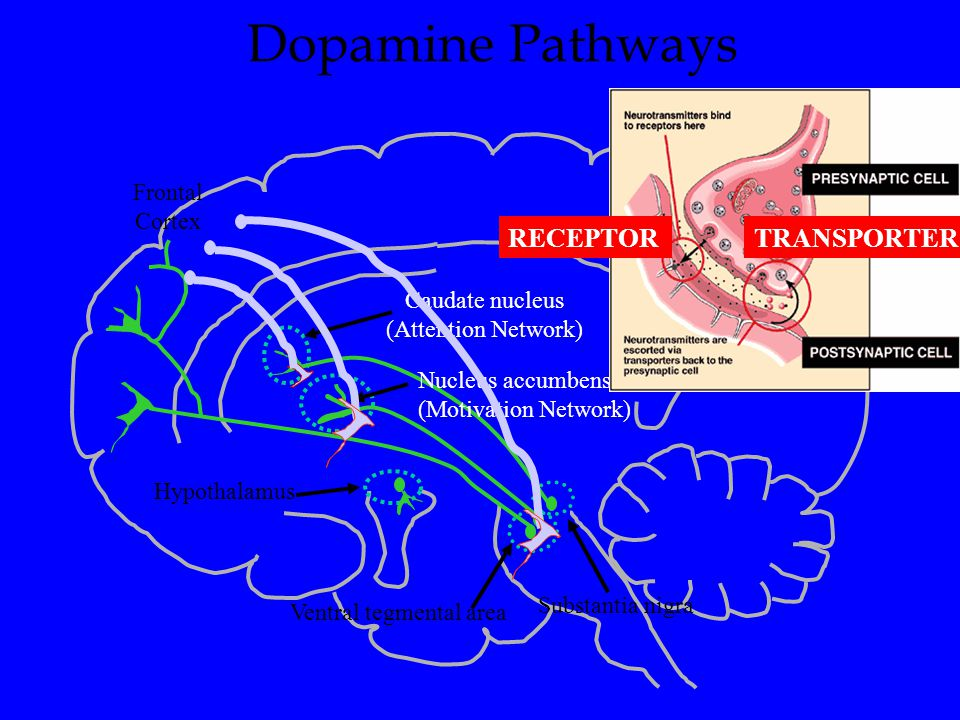 Biological Bases of ADHD: The Dopamine Hypothesis RECEPTOR TRANSPORTER
