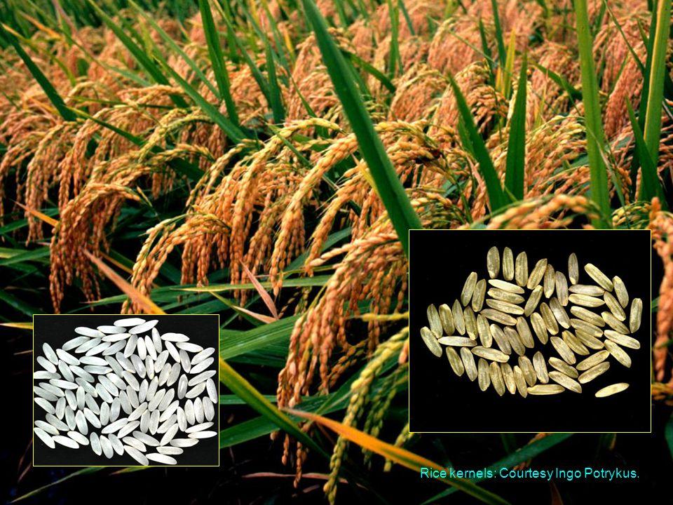 Rice kernels: Courtesy Ingo Potrykus.