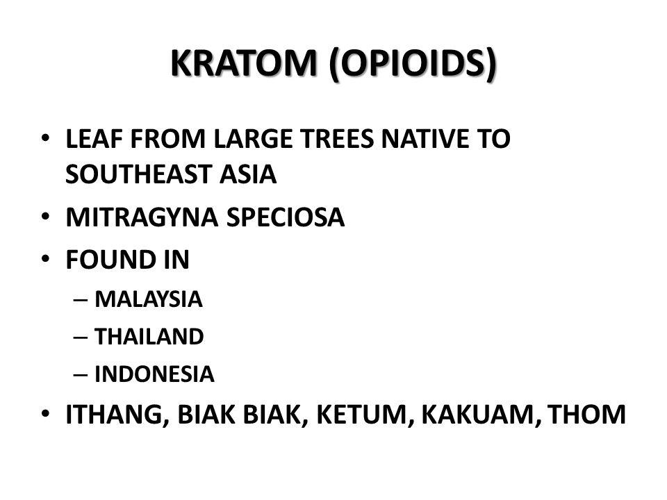 KRATOM (OPIOIDS) LEAF FROM LARGE TREES NATIVE TO SOUTHEAST ASIA MITRAGYNA SPECIOSA FOUND IN – MALAYSIA – THAILAND – INDONESIA ITHANG, BIAK BIAK, KETUM, KAKUAM, THOM